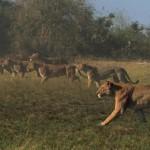 دانلود مستند The Last Lions 2011 آخرین شیرها دوبله فارسی + زبان اصلی با کیفیت Full HD مالتی مدیا مستند