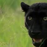 دانلود مستند Revealing the Leopard 2010 آشنایی با پلنگ مالتی مدیا مستند