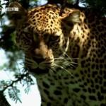 Life-on-the-Savannah-Big-Cats-Screen4