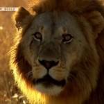 Life-on-the-Savannah-Big-Cats-Screen5