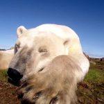 polar-bears-a-summer-odyssey-screen2