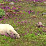 polar-bears-a-summer-odyssey-screen7