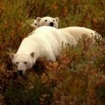 دانلود مستند Polar Bears: Ice Bear 2013 خرسهای قطبی: خرس یخی مالتی مدیا مستند