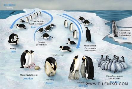 چرخه زندگی پنگوئن امپراتور