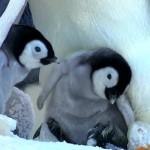 دانلود مستند Snow Chick: A Penguin's Tale 2015 جوجه برفی داستان یک پنگوئن مالتی مدیا مستند