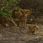دانلود مستند India's Wandering Lions 2016 مالتی مدیا مستند