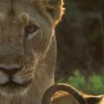 India Wandering Lions (2016) 720p.www.fileniko.com.mkv_snapshot_29.42_[2016.05.05_10.36.26]