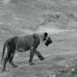 India Wandering Lions (2016) 720p.www.fileniko.com.mkv_snapshot_45.20_[2016.05.05_10.36.49]