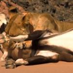 دانلود مستند ناپدید شدن پادشاهان صحرا، شیرهای نامیب Vanishing Kings Desert Lions of Namib 2016 مالتی مدیا مستند